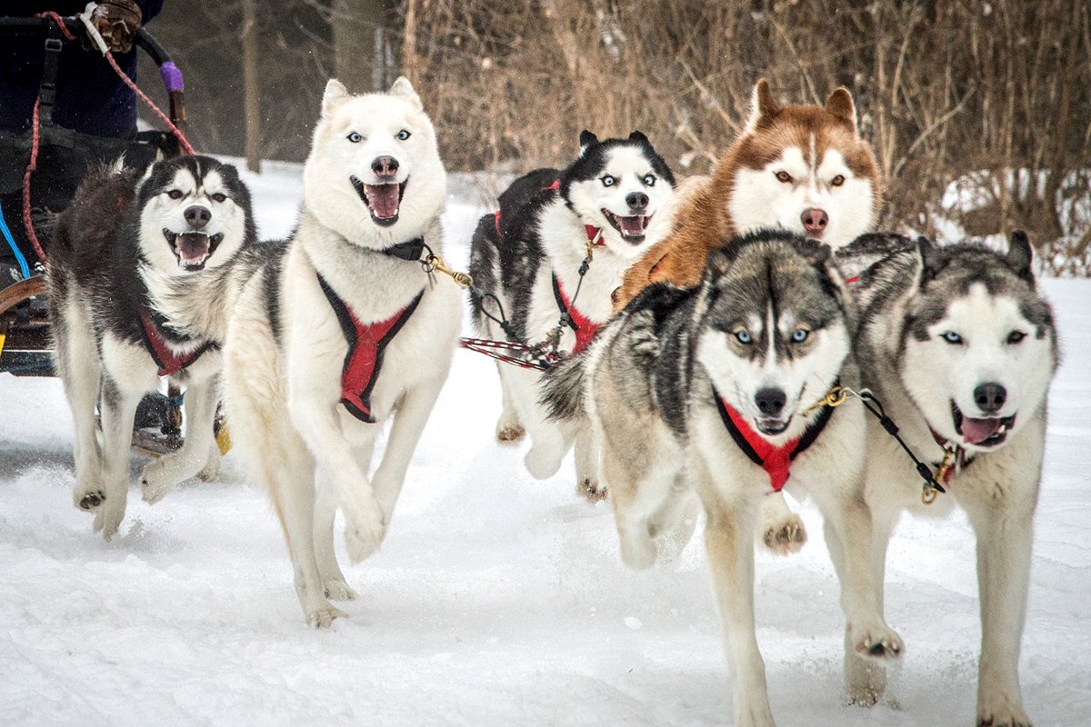Annual Seguin Sled Dog Mail Run Siberian Husky team